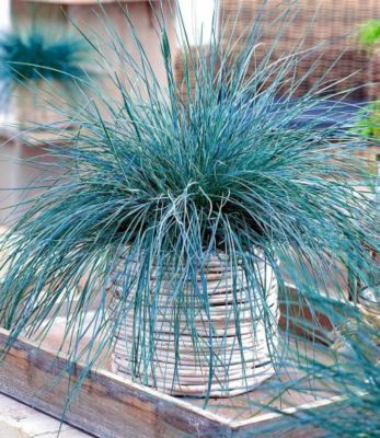 Winterhart Ziergras Intense Blue 1 Pflanze Festuca Glauca Gartenxxl De Ziergras Pflanzen Gras