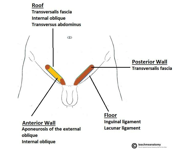 Boundaries Of Inguinal Canal Note Conjoint Tendon Ie Iota Forms