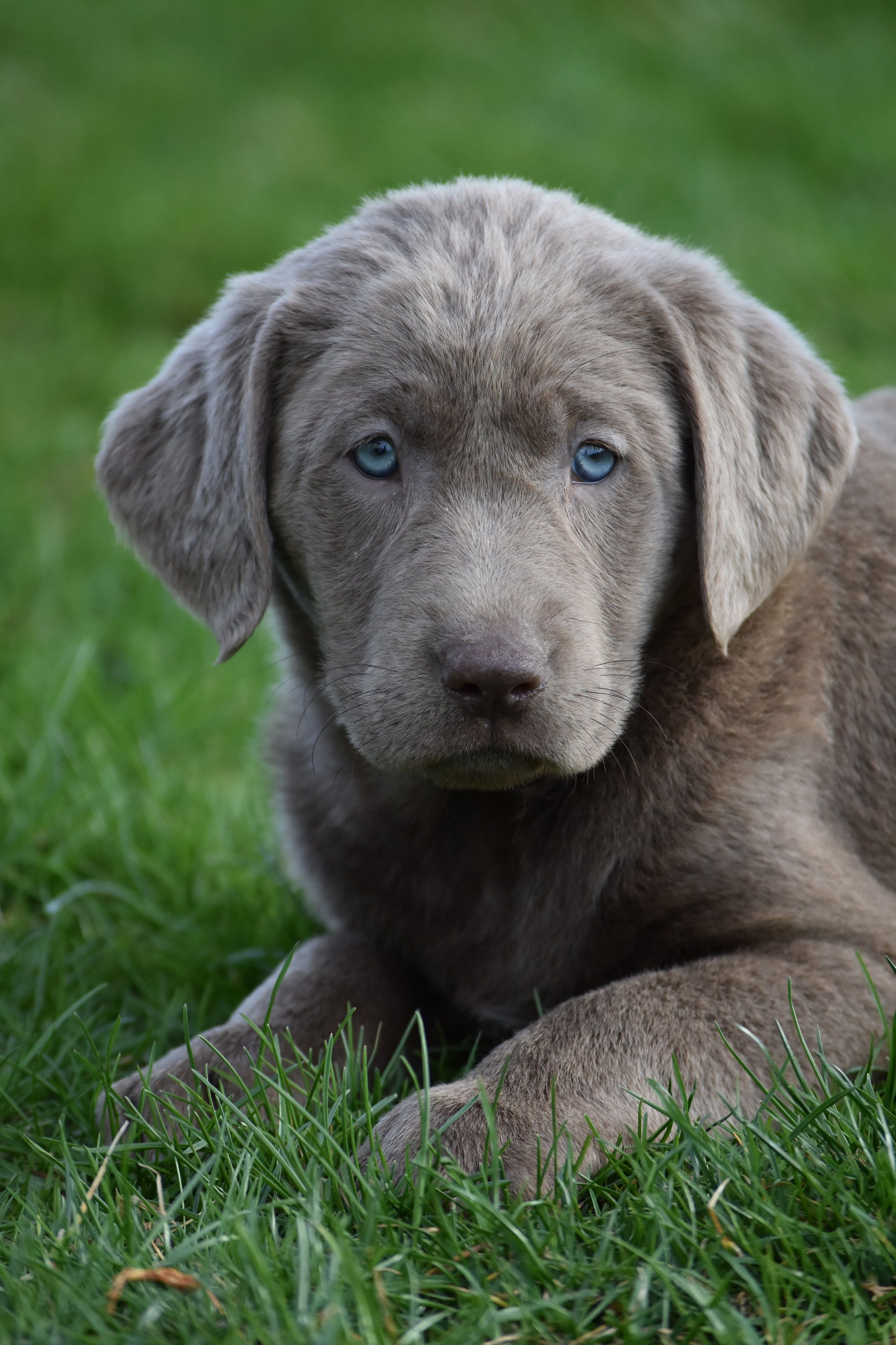Pin By 𝔾𝕣𝕒𝕔𝕚𝕖 On Awwwww Silver Lab Puppies Lab Puppies Golden Labrador Puppies