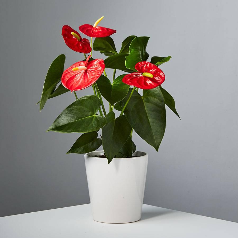 Red Anthurium Plant In 2020 Anthurium Plant Anthurium Red Plants