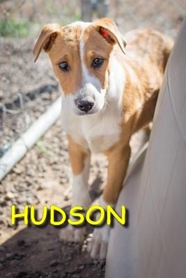 Hudson - URGENT - ALPINE HUMANE SOCIETY in Alpine, TX - ADOPT OR FOSTER - Neutered Male PUPPY Jack Russell/Pharaoh Hound Mix - Hudson came into the shelter as a stray with his sister Harper. They both started as very timid but have shown affection and playfulness with other dogs, and ever so slightly with humans too. Another friendly dog in his adopted home will help him adjust to being a pet, as will an owner who understands how to gently countercondition fearful dogs away from their fears.