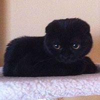 Pin By Camila On Animals Scottish Fold Cat Scottish Fold