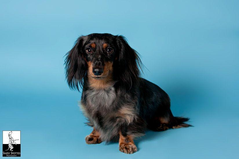 Bryndee Mini Doxie Doxie Puppies Pet Photographer Weiner Dog