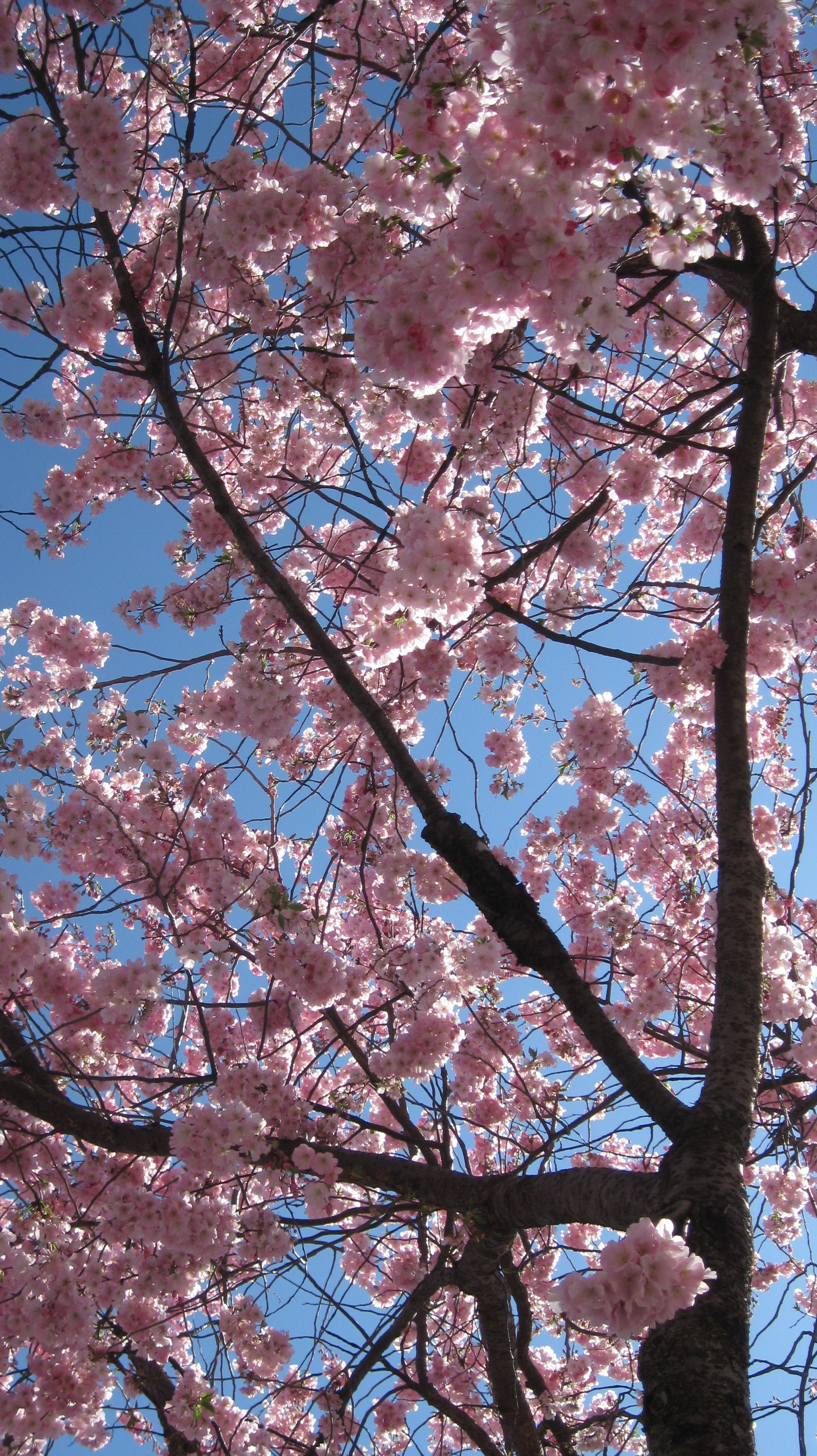Cherry Blossoms My Favourite Thing About Vancouver In The Spring Beautiful Blooms Outdoor Nature