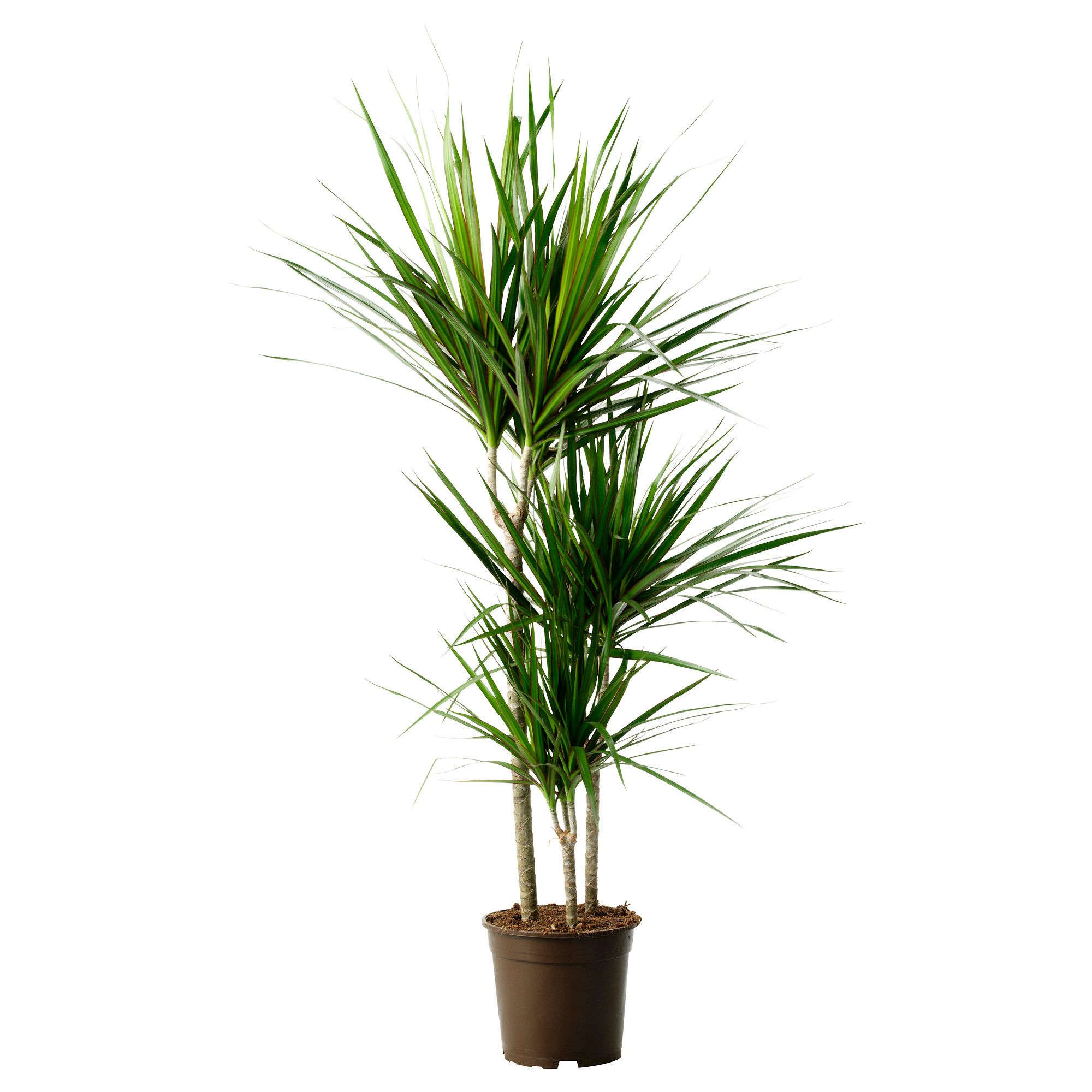 dracaena marginata plante en pot dragonnier de madagascar 3 tiges plante verte ikea plantes. Black Bedroom Furniture Sets. Home Design Ideas