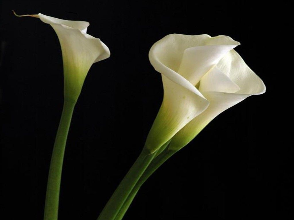 Calla lily flowers wallpapers excellent pics of calla lily calla lily flowers wallpapers excellent pics of calla lily izmirmasajfo
