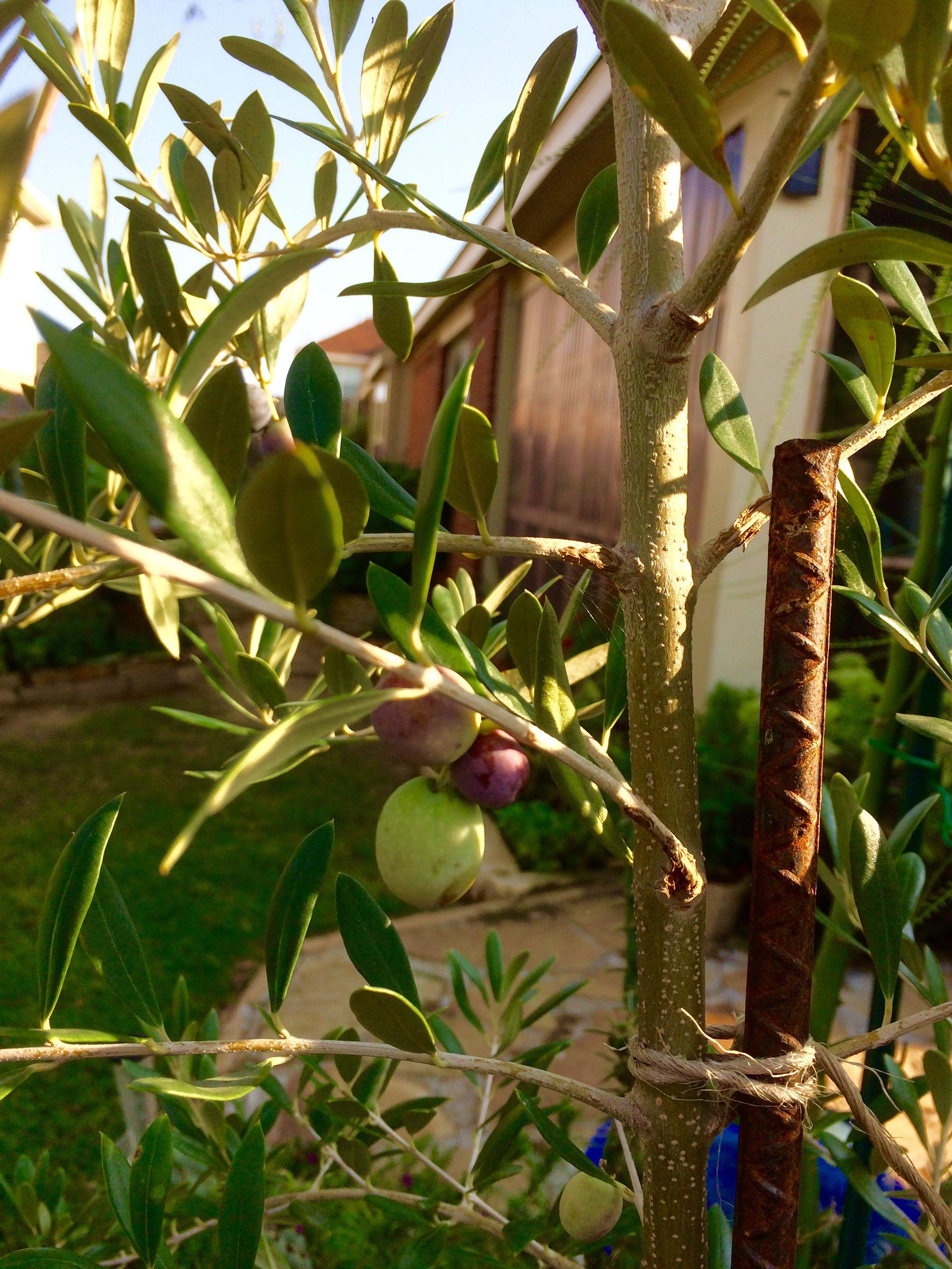 Olives on olive tree September 2017   Kay\'s Garden   Pinterest   Gardens