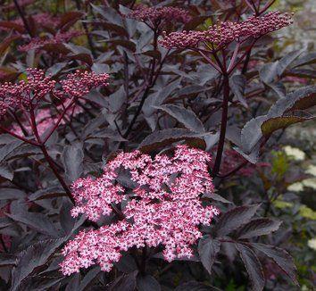 sambucus nigra black beauty pp12305 pink bushes plants perennials ja planting shrubs. Black Bedroom Furniture Sets. Home Design Ideas