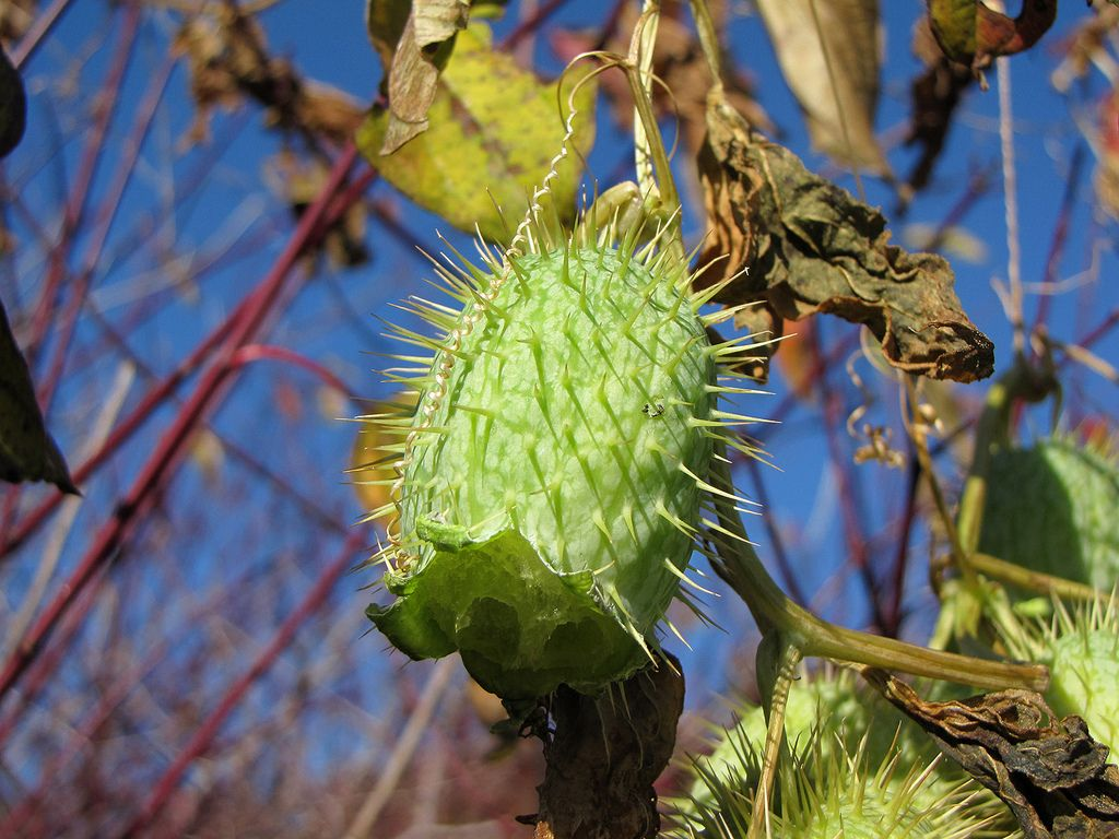 Green spiky seed pod for Garden pods to live in