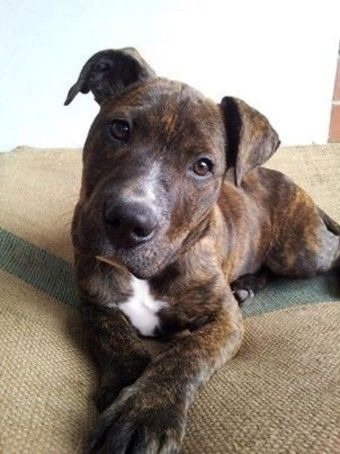 Inca Medium Female Staffy Mix In Wa Petrescue Animals Hounds Of Love Dogs
