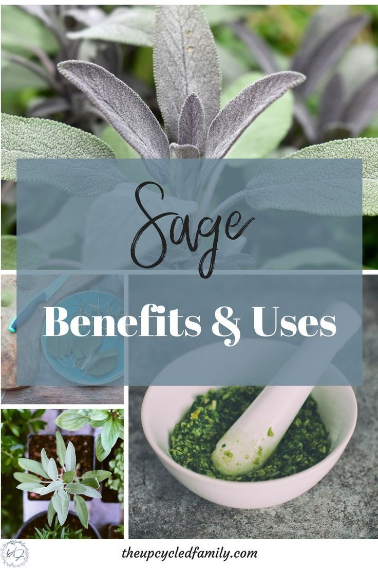 The amazing reason YOU WANT this herb in your garden! is part of Herb garden - Sage benefits and uses  Sage is one easygrow powerful herb great for both food and medicine  How to grow and use sage for all its health potentials