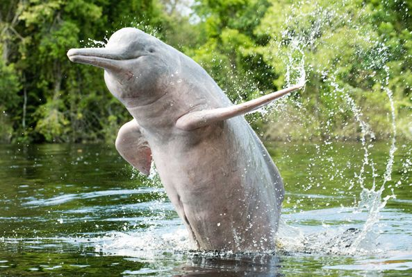 The Ganges River dolphin lives in one of the most densely ...