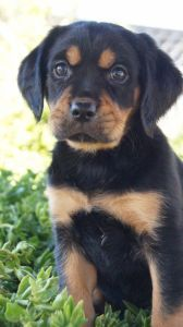 Dogs, Puppies - Puppies And Rescues - Pembroke Pines, Fl