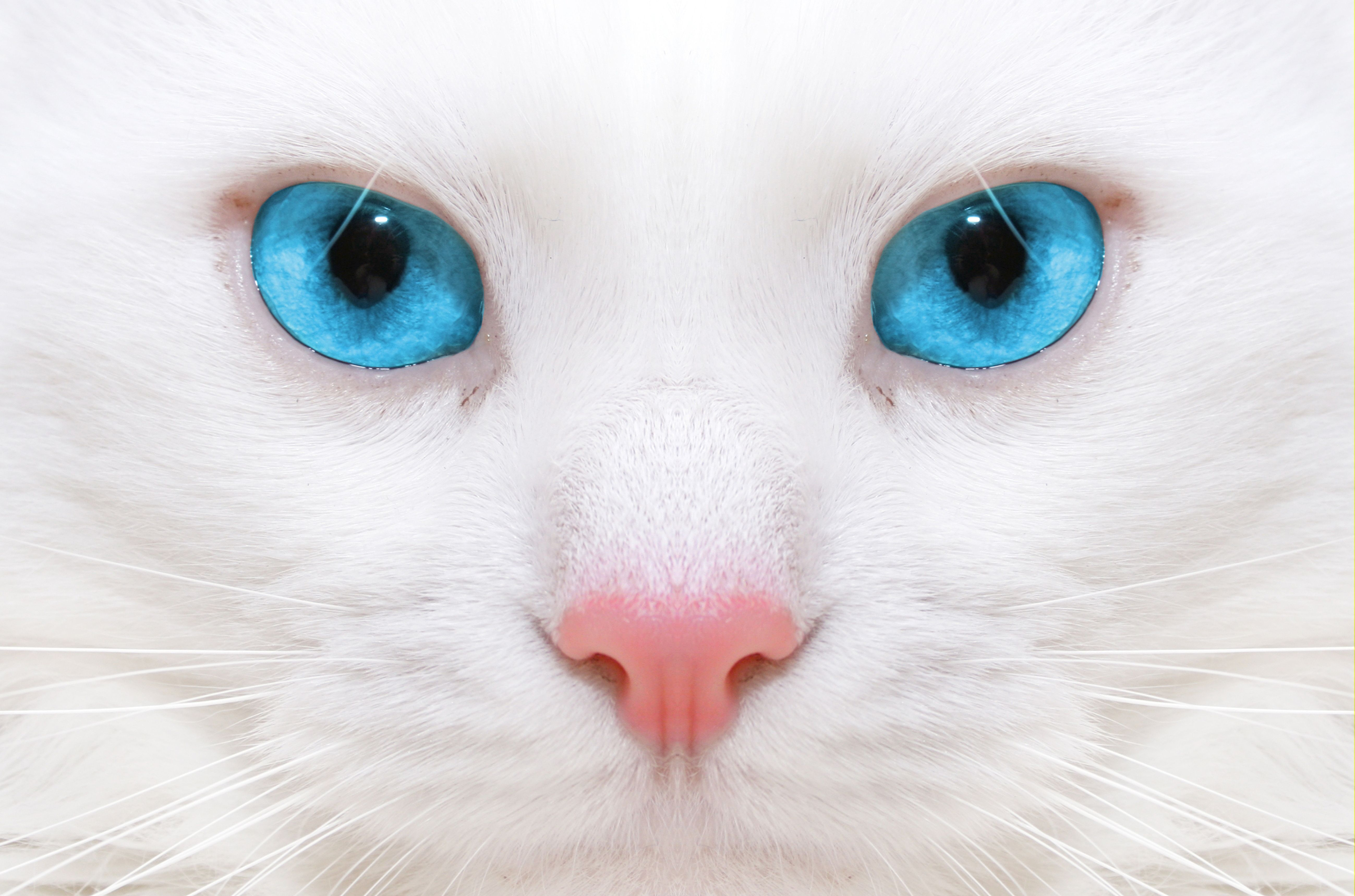 beautiful white cats with magical blue eyes. spellbinding. | eyes