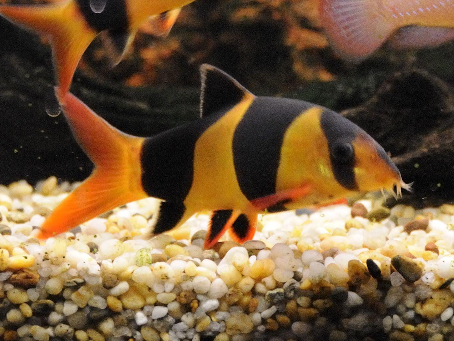 2 Clown Loach (Chromobotiamacracanthus) Aquarium fish