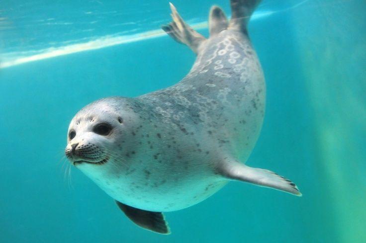 Ringed Seals Visit Blog Otaru Aq Jp Sea Lion Animals Cute