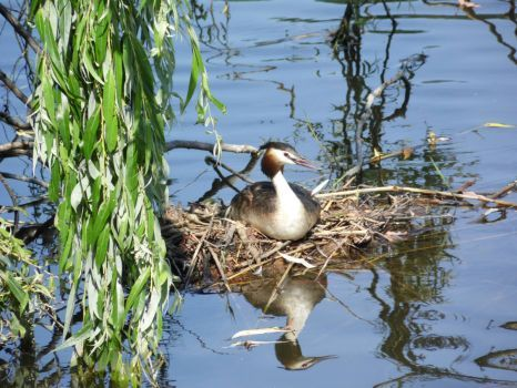 Great crested grebe. Second brood. (63 pieces)