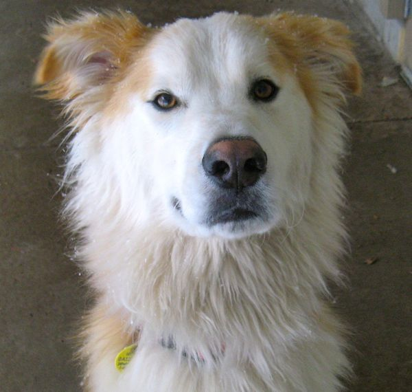 Our Sassy Girl Alaskan Husky Golden Retriever Mix Golden