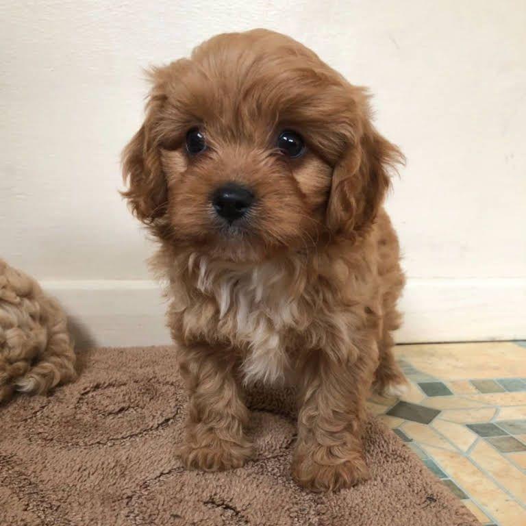 Cathys Maltese Teacup Apricot Maltipoo Maltese Puppy For Sale Apricot Maltipoo Breeder Puppy For In 2020 Maltese Puppy Maltipoo Puppy Maltese Puppies For Sale