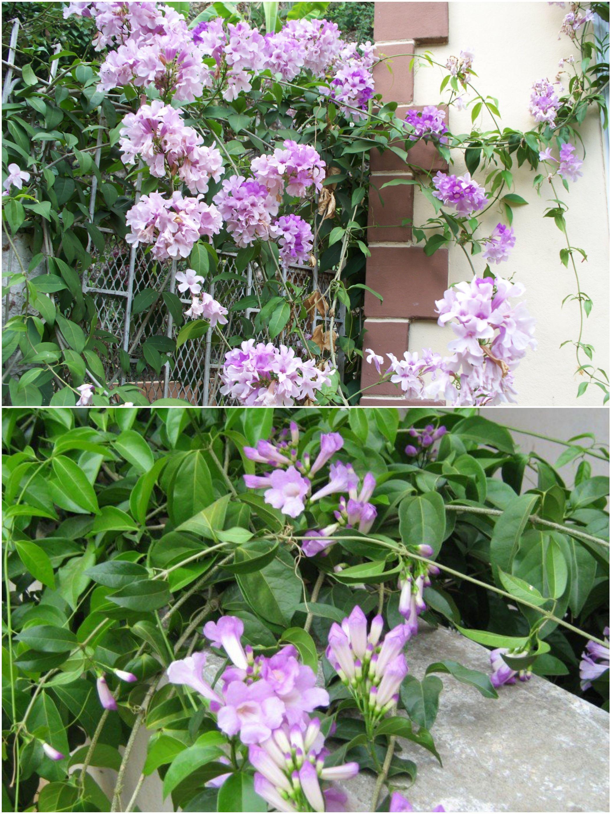 Garlic Vine Flower Flowers Of Bangladesh Pinterest