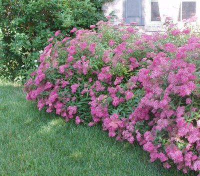 Anthony Waterer Spirea Google Search Instead Of