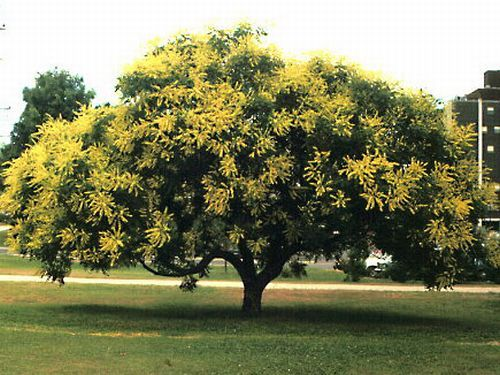 Golden Raintree Golden Rain Tree Shade Trees Tree Seeds