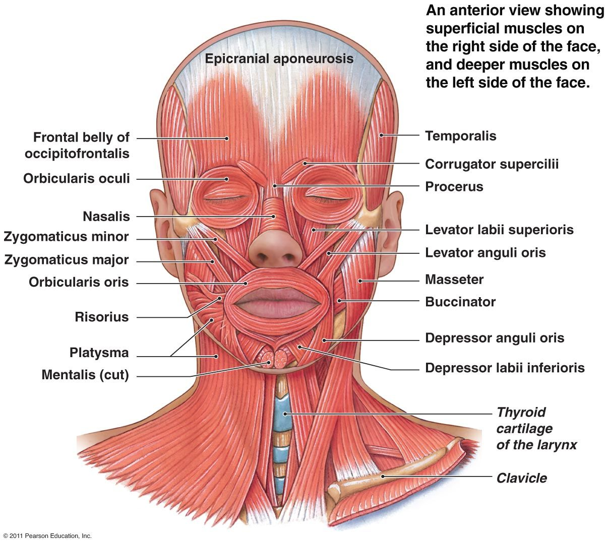 Facial Muscles Anatomy Anatomy Pinterest Muscle Anatomy