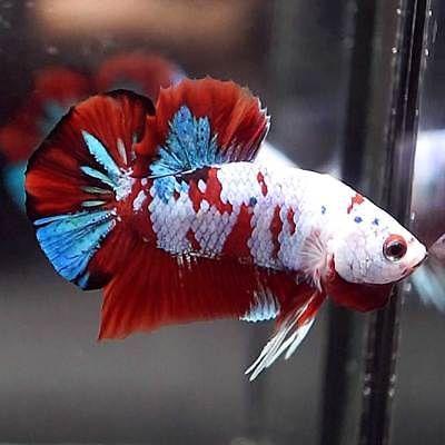 Ooak Live Betta Fish Fancy Multi Color Koi Halfmoon Plakat Hmpk Male 103 Betta Fish Pretty Fish