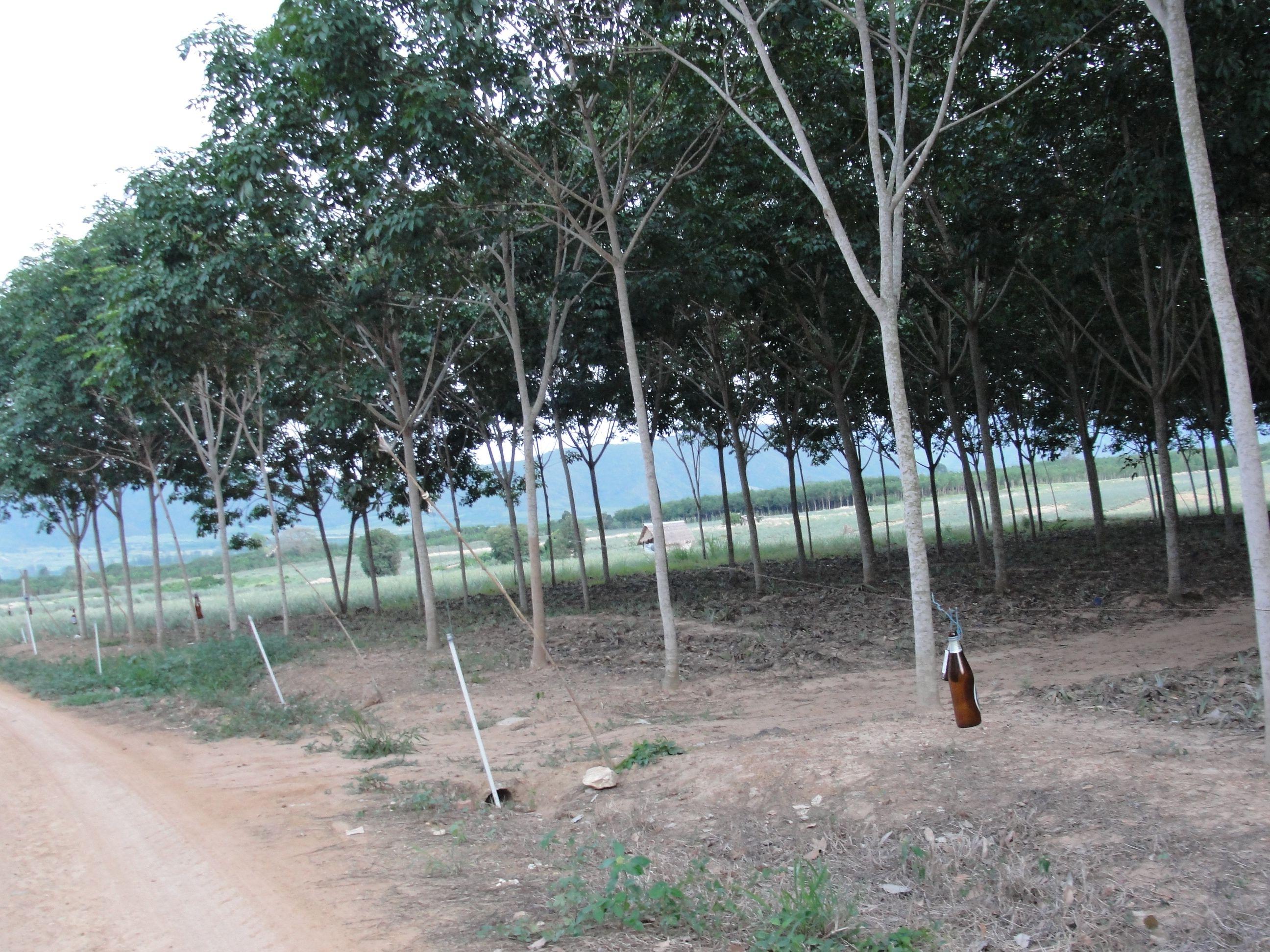 Rubber plantattion