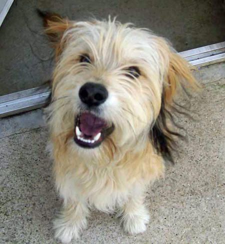 Rockie The Mixed Breed Looks Like A Little Benji Terrier Mix To