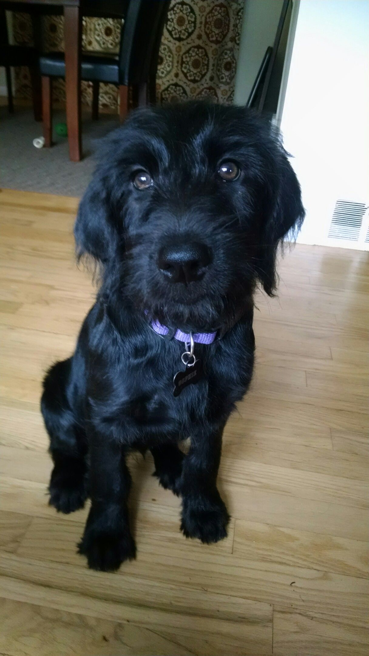 F1 Black Labradoodle Puppy Those Eyes