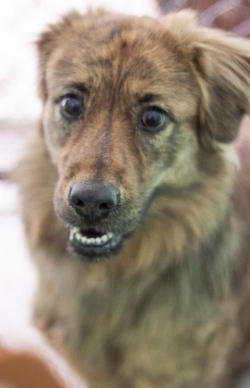Adopt Bongo On Chow Chow Dogs Australian Shepherd Dogs
