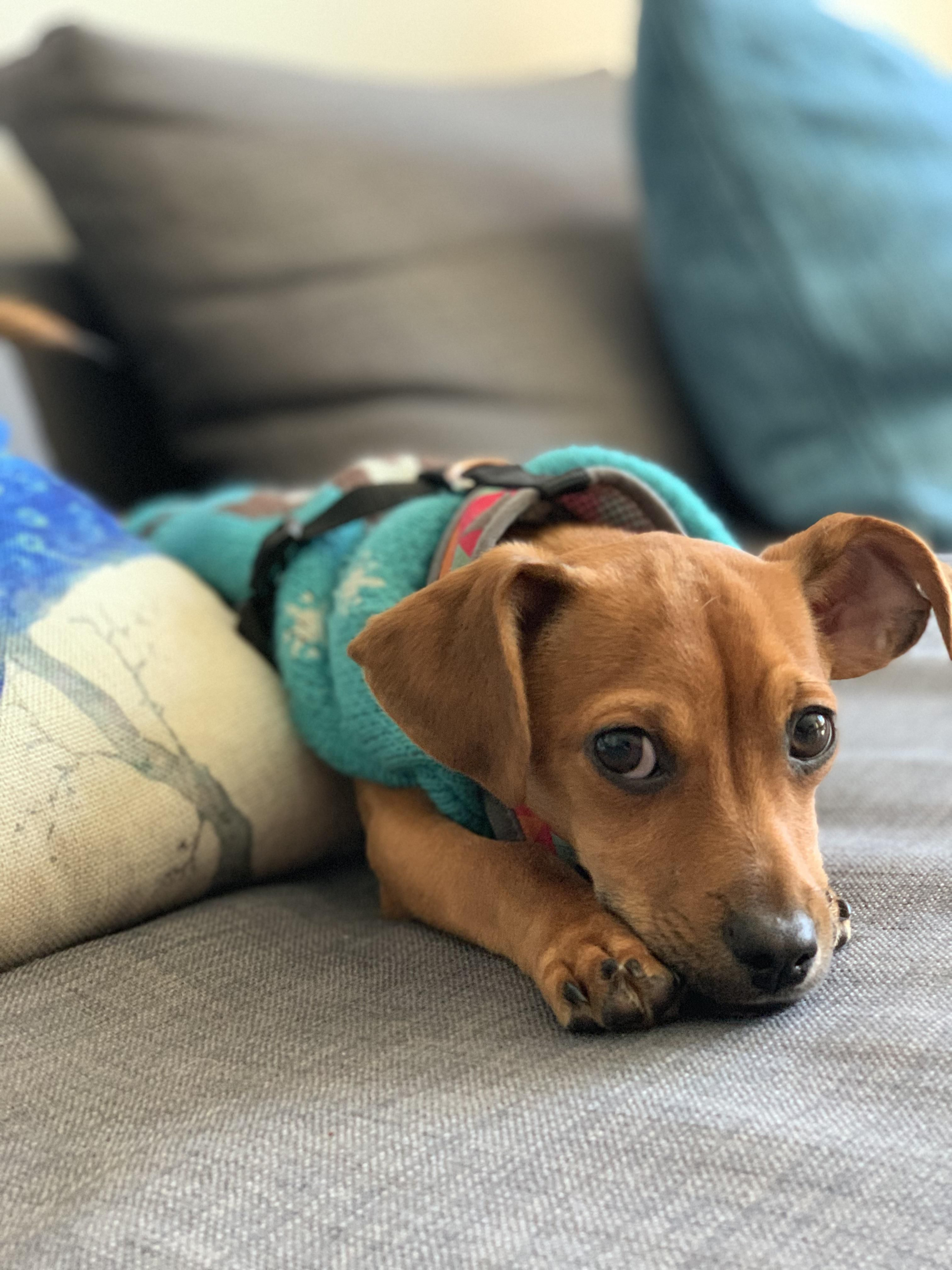 Pin by natalie bower on products i love chiweenie dogs