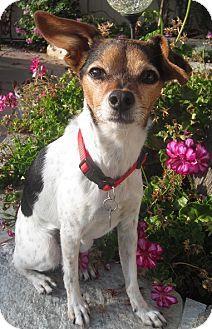 San Diego Ca Chihuahua Mix Meet Dutchess A Dog For Adoption Chihuahua