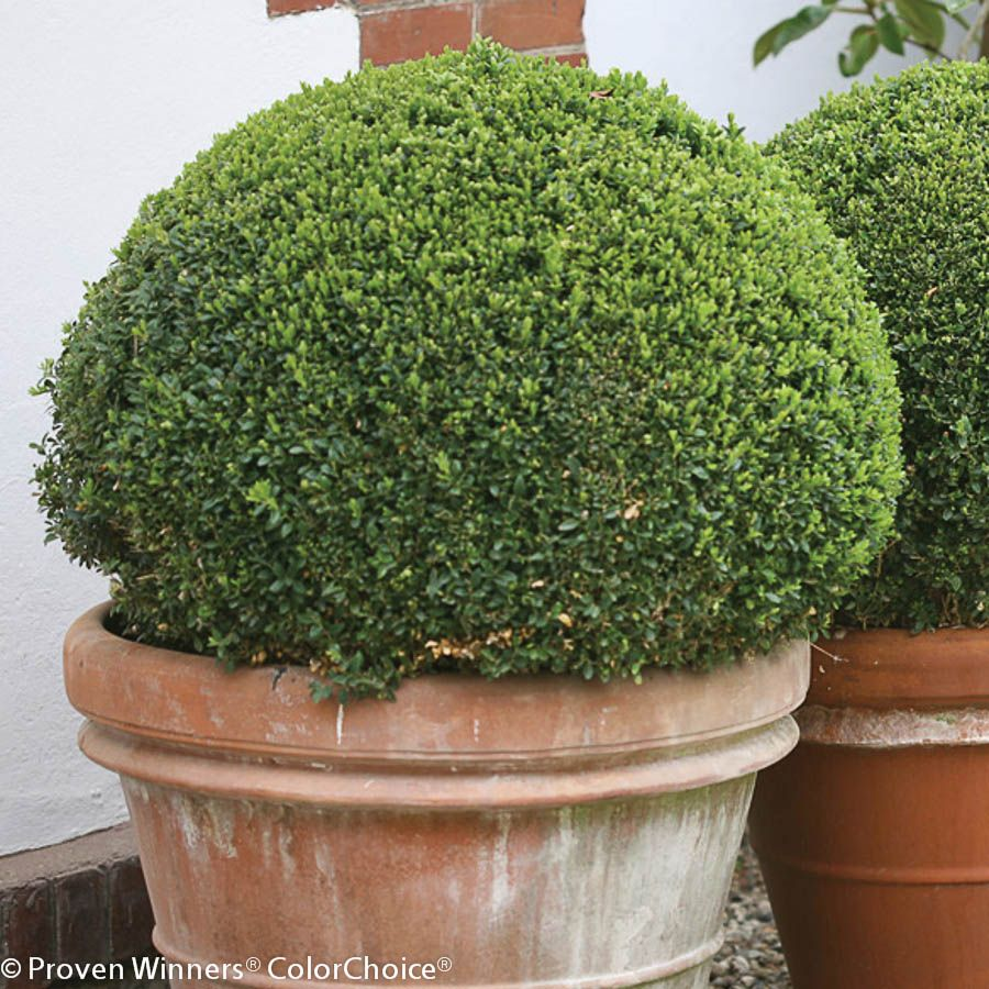 Sprinter Boxwood Buxus Microphylla Plants Evergreen Shrubs