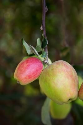 Why Do Apple Trees Not Bear Fruit Every Year Apple Tree Cedar Trees Apple