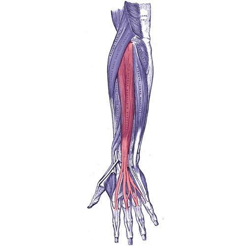 extensor digitorum muscle arm hand finger pain http