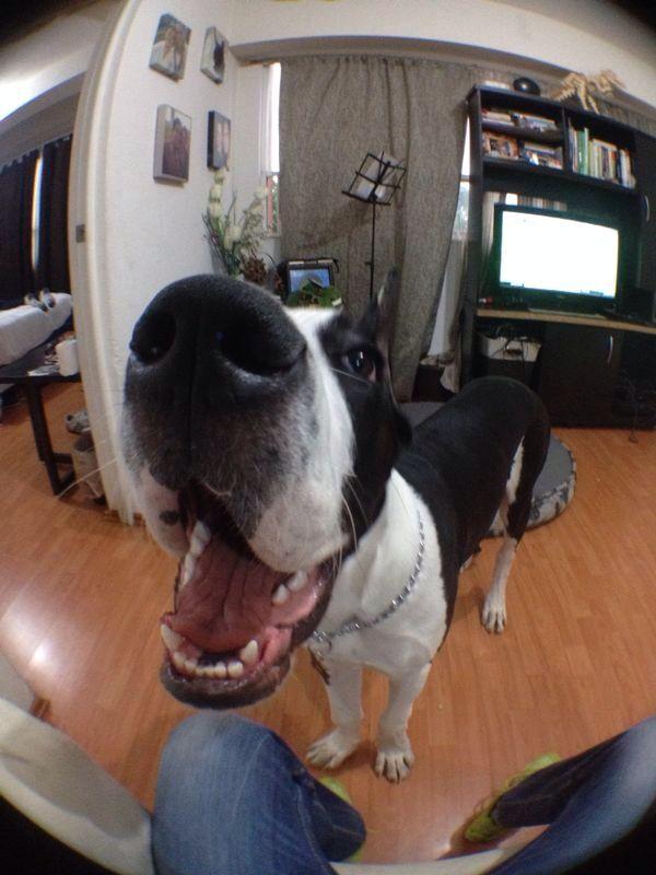Great Dane Mantle Puppy Gentle Giants Pinterest Great
