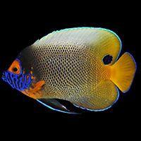 Blueface Angel Aquarium Fish For Sale Fish Aquarium Fish