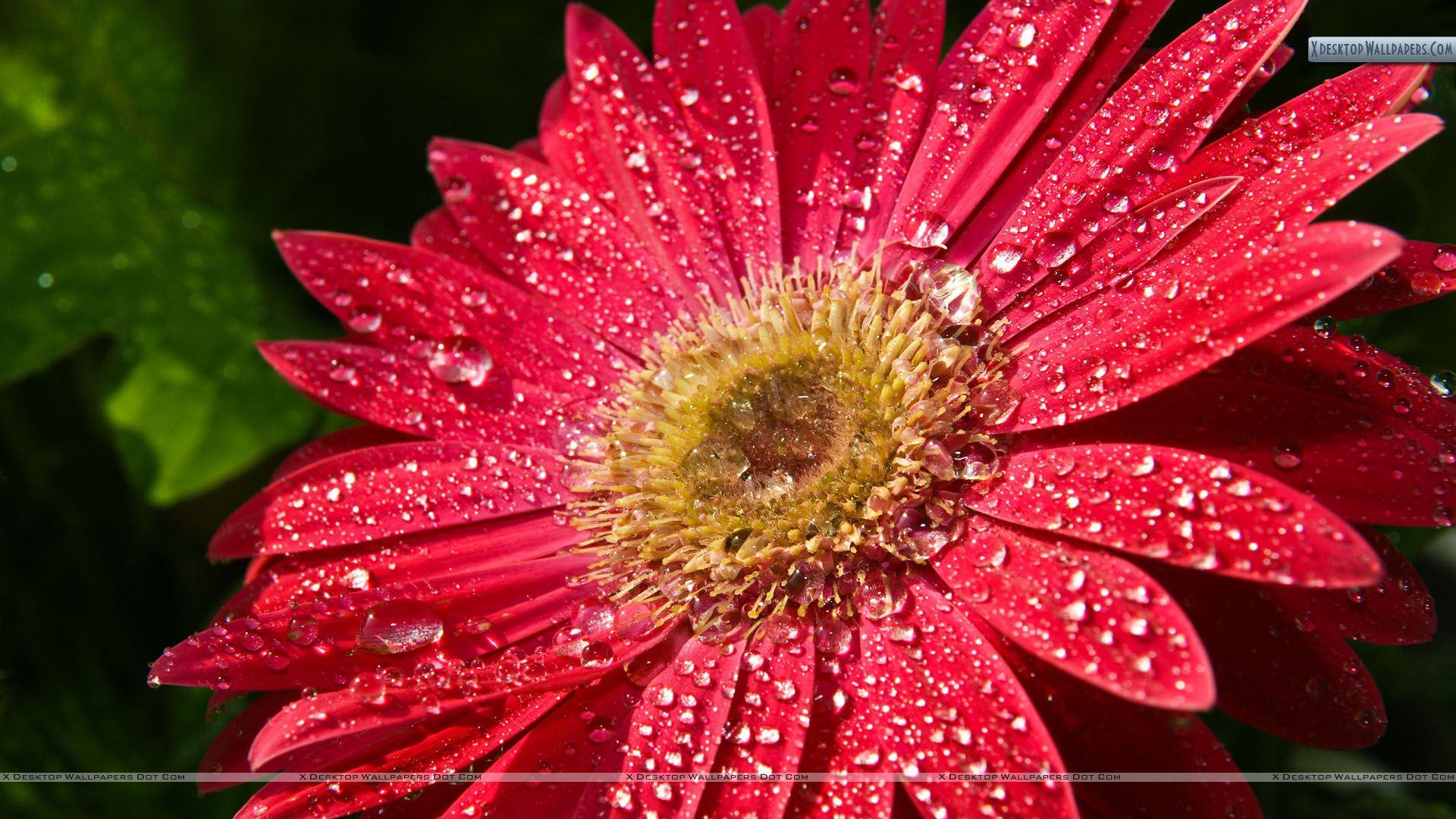 Water Drops Red Sunflower Red Sunflowers Pink Sunflowers Gerbera Flower
