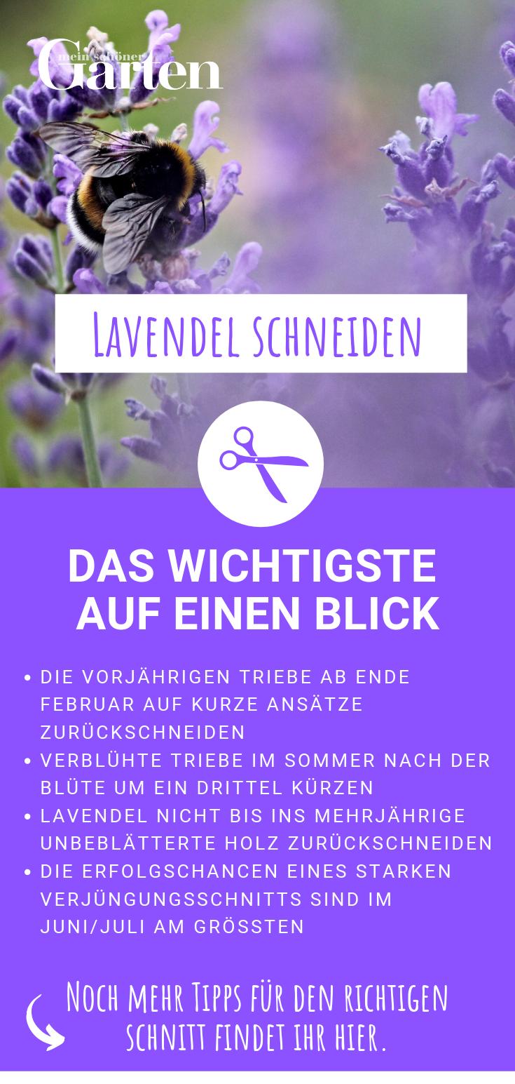 Lavendel schneiden: Das Wichtigste auf einen Blick
