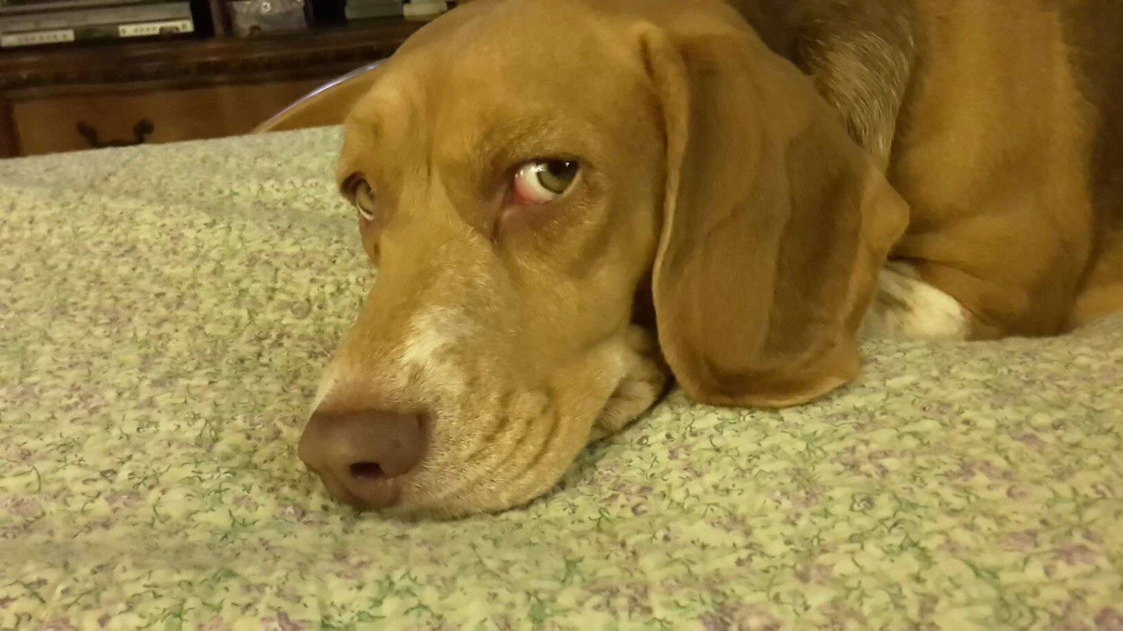 Beagle Chocolate Tricolor Beagle Puppy Puppies