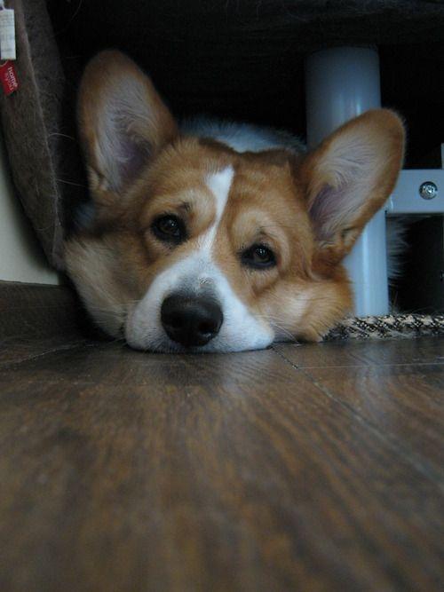 Pin By Sandy Bentley On Corgi Of Course 2 Corgi Pictures Corgi Corgi Dog