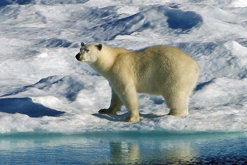 Park Art|My WordPress Blog_Animal Fact Guide Polar Bear