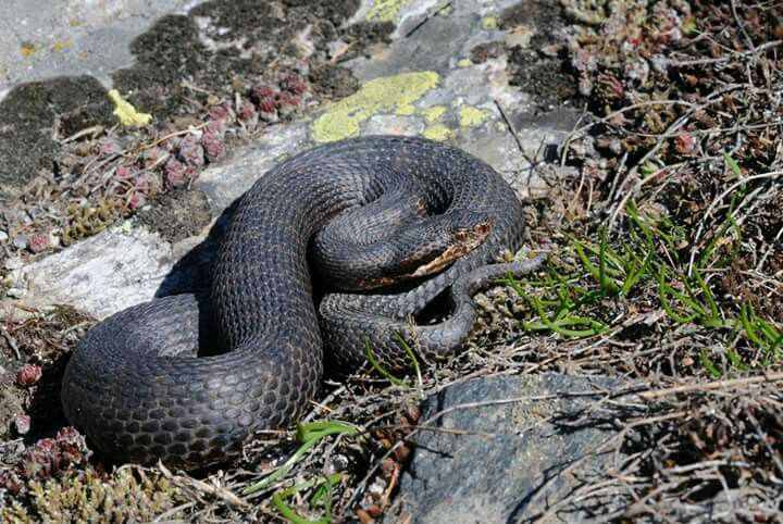 Black Asp Vipera Aspis Reptiles Snake Animals