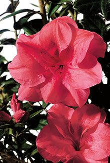 "Autumn Princess™ | Encore® Azalea: Striking purple winter foliage and dark green summer foliage accentuate the ruffled blooms.    Bloom Color:	Pink  Plant Size:	Dwarf  Height:	3.5 feet  Spread:	3 feet  Bloom Span:	2"" across  Bloom Form:	Semi-double  USDA Zones:	6b, 7, 8, 9"
