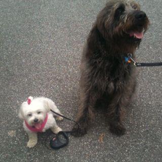 Labradoodle And Maltese Labradoodle Pets Maltese