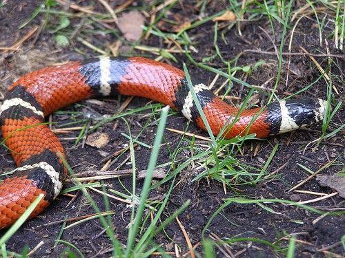 Sinaloan Milk Snake (Lampropeltis t  sinaloae) | Pet - Snake | Milk