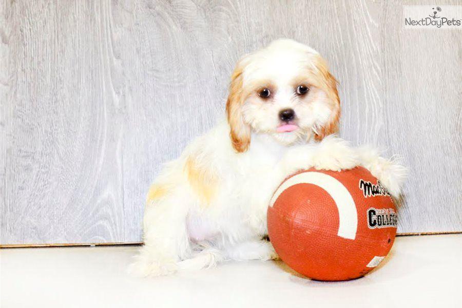 Cavapoo puppy for sale near Columbus, Ohio b6488d019251