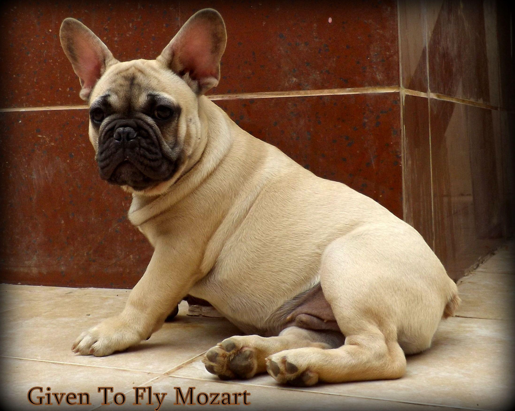 MOZART 3,5 months old CONTACT:Bosphorus Bulls/Facebook